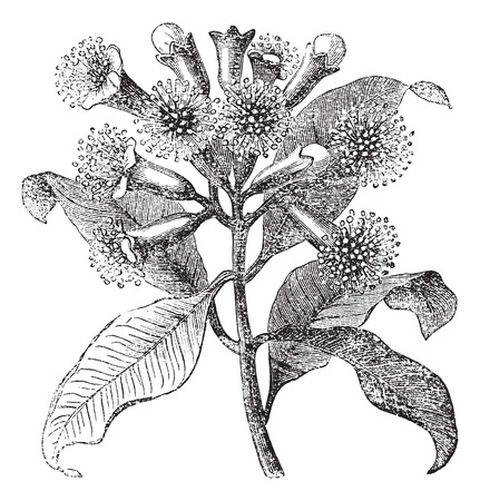 clove of clove: Old engraved illustration of Cloves, isolated on a white background.
