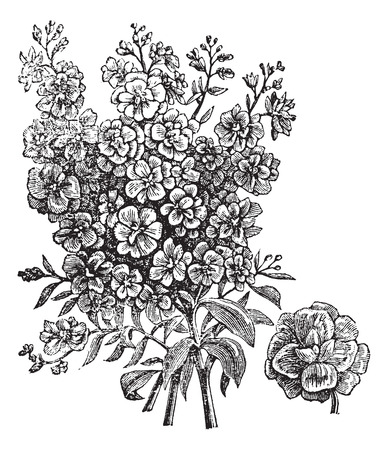 wallflower: Old engraved illustration of Double wallflower, isolated on a white background.