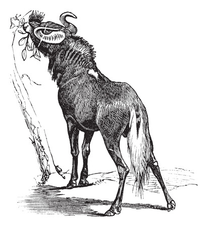 Old engraved illustration of Blue Wildebeest, eating leaves from tree.