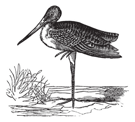migratory: Old engraved illustration of Marbled Godwit in the meadow. Illustration
