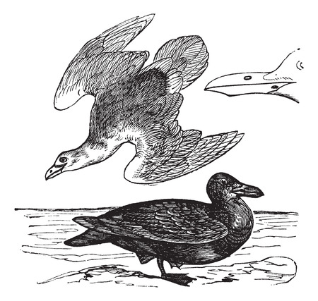 beak: Old engraved illustration of European Herring Gull, young and adult with beak.