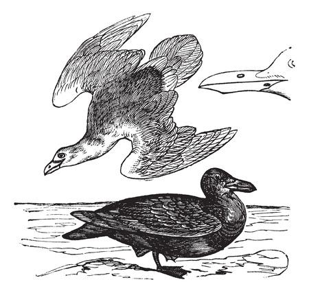 Oude gegraveerde illustratie van de Zilvermeeuw, jongeren en volwassenen met een snavel.