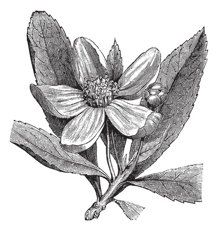 Old engraved illustration of Franklinia, isolated on a white background.