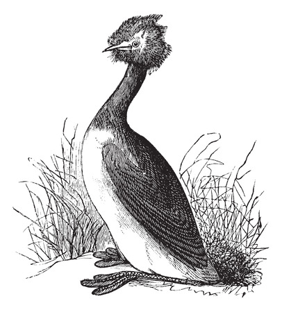 grebe: Old engraved illustration of Great Crested Grebe in the meadow. Illustration