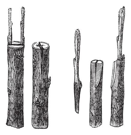 裂による異なったサイズおよびタイプ、白い背景で隔離の古い刻まれたイラスト。