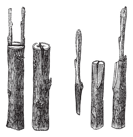 asexual: Old engraved illustration of Cleft grafting with different sizes and types, isolated on a white background.