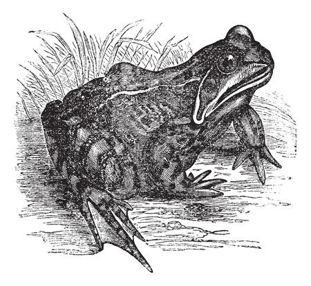 rana: Old engraved illustration of European common frog.