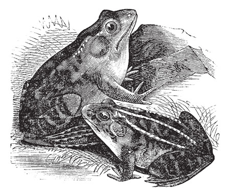 Old engraved illustration of Rana pipiens and Rana horiconensis Vector