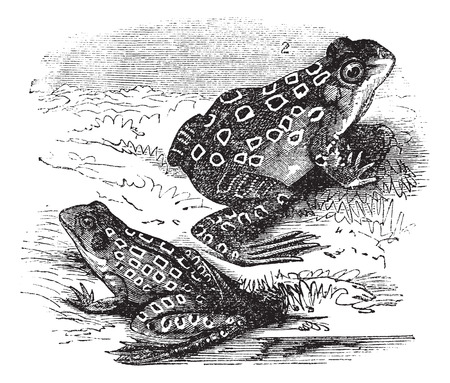 Old engraved illustration of Shad frog and Pickerel frog. Vector