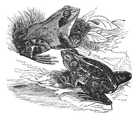 rana: Old engraved illustration of wood frog and spring frog.