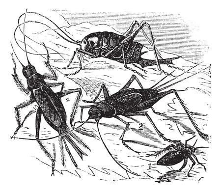 feelers: Ilustraci�n del Antiguo grabado de madera 1. grillo campo 2. 3. grillo grillo dom�stico 4. compr� maculata