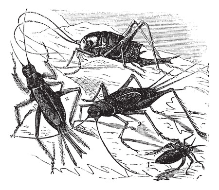 Old engraved illustration of 1. wood cricket 2. field cricket 3. Domestic cricket 4. bought maculata Vector