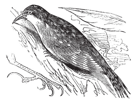 Old engraved illustration of Eurasian treecreeper.