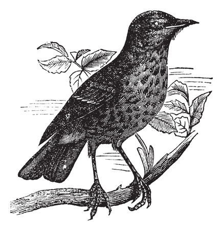 Old engraved illustration of turdus musicus perched on branch.