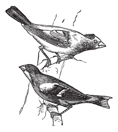 Old engraved illustration of male and female evening grosbeaks percing on tree branch.