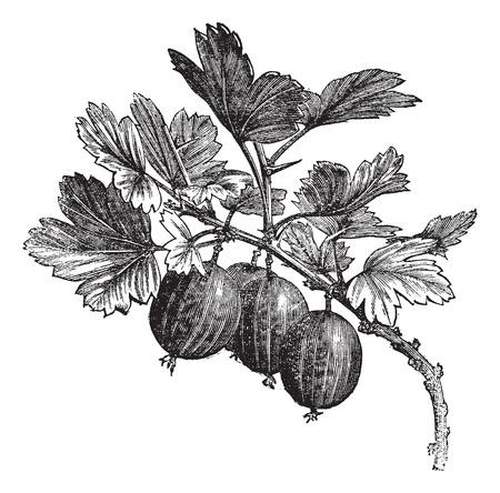 grosella: Ilustración del Antiguo grabado de la grosella espinosa en rama. Vectores