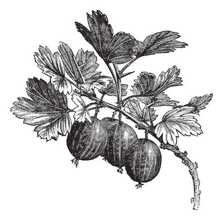 Old engraved illustration of gooseberry on branch.