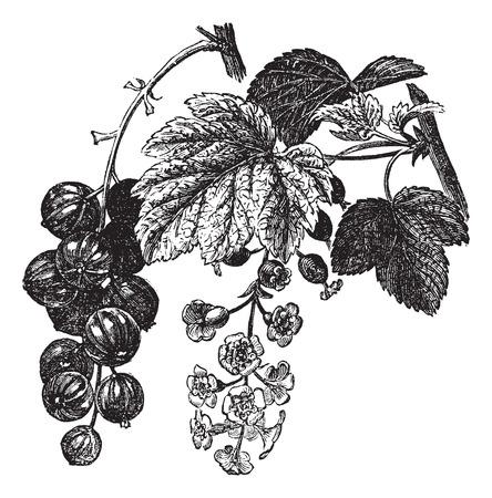 レッドカラント: 赤いスグリ (カーランツ) ビンテージ彫刻。古い刻印新鮮な赤いスグリのイラストの葉と花  イラスト・ベクター素材