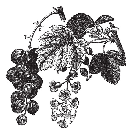 Red currant (Ribes rubrum) vintage engraving. Old engraved illustration of fresh red currants with leaves and flowers Vettoriali