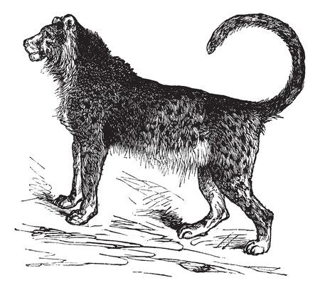 acinonyx jubatus: Old engraved illustration of beautiful cheetah.