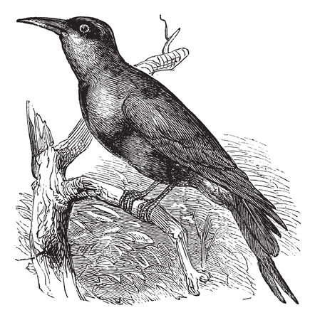 passerine: Carmine Bee-eater (Merops nubicus) or Nubian Bee-eater vintage engraving. Old engraved illustration of Carmine Bee-eater perched on tree branch.
