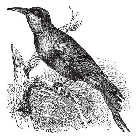carmine: Carmine gruccione (Merops nubicus) o Nubian Gruccione incisioni d'epoca. Old illustrazione incisa di Carmine Gruccione appollaiato sul ramo di un albero.