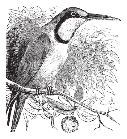 perched: Old engraved illustration of European Bee-eater perched on tree branch.