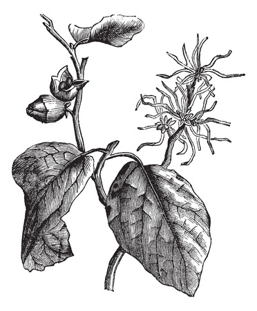 Old engraved illustration of witch hazel leaves and flowers.