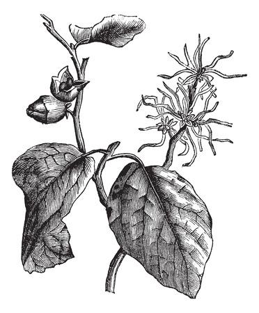 Oude gegraveerde illustratie van toverhazelaar bladeren en bloemen. Stock Illustratie