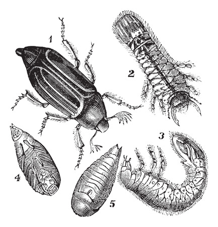 larva: Old engraved illustration of Regular Chafer (Melolontha vulgaris), Larva rear view, Larva side view, chrysalis view below and chrysalis view below