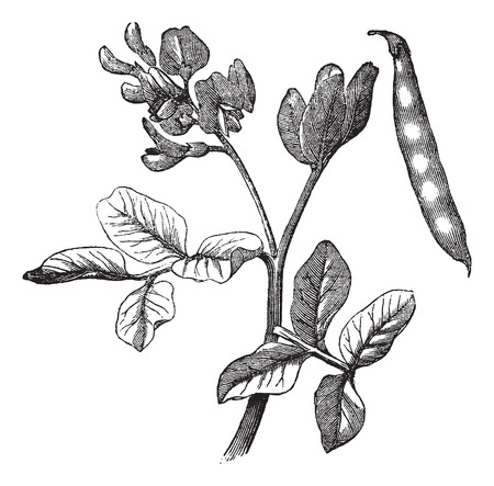 common bean: Old engraved illustration of common bean plant. Illustration
