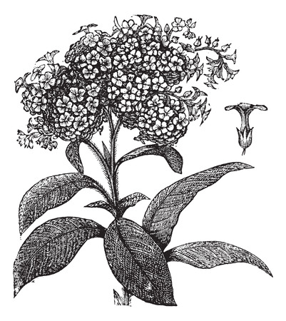 Old engraved illustration of wild heliotrope on white. Stock fotó - 37980363