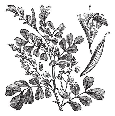 Old engraved illustration of Haematoxylum campechianum.