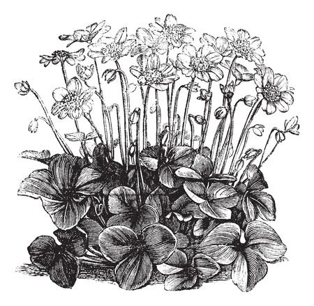 Old engraved illustration of fresh hepatica triloba. Illusztráció