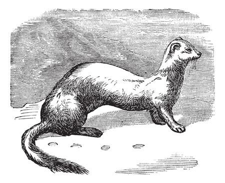 ermine: Ilustraci�n del Antiguo grabado de piel de armi�o en invierno.