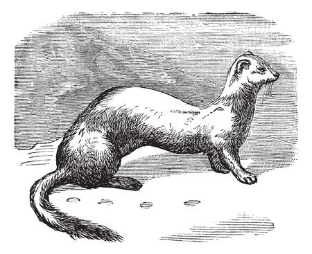 Old engraved illustration of Ermine in winter pelt.