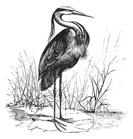 Old engraved illustration of a beautiful european heron.