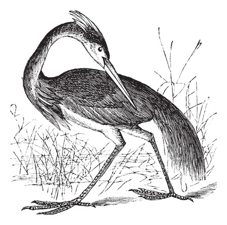 wader: Old engraved illustration of beautiful Louisiana Heron.