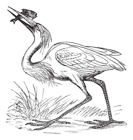 wader: Old engraved illustration of white heron with caught fish. Illustration