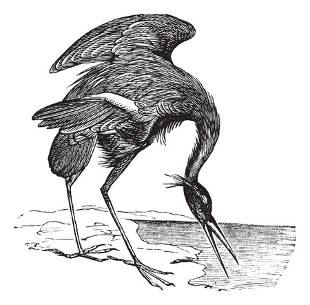 wade: Old engraved illustration of beautiful Great Blue Heron.