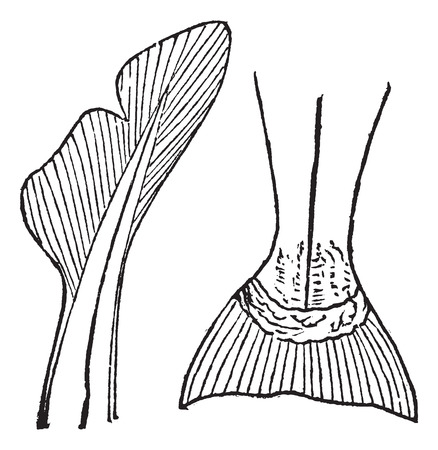 caudal: Old engraved illustration of Heterocercal and Homocercal tails.