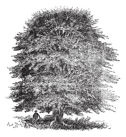 Old engraved illustration of beech tree on white. Ilustrace