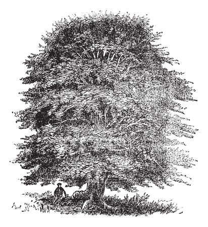 beech: Old engraved illustration of beech tree on white. Illustration