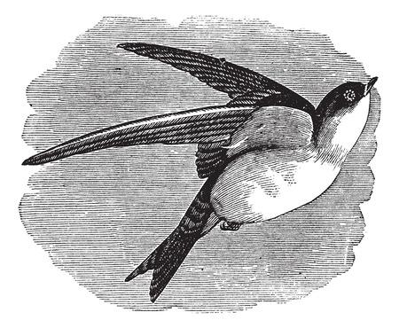 martin: Old engraved illustration of Common House Martin in flight. Illustration