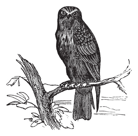 Old engraved illustration of Eurasian Hobby waiting on a branch.