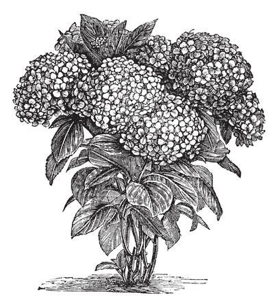 Old engraved illustration of Bigleaf Hydrangea. Ilustracja