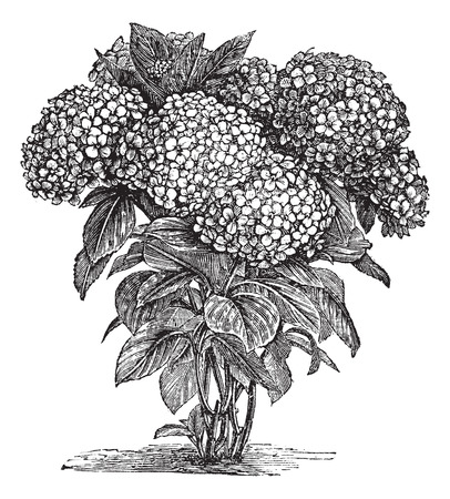 bigleaf hydrangea: Old engraved illustration of Bigleaf Hydrangea. Illustration