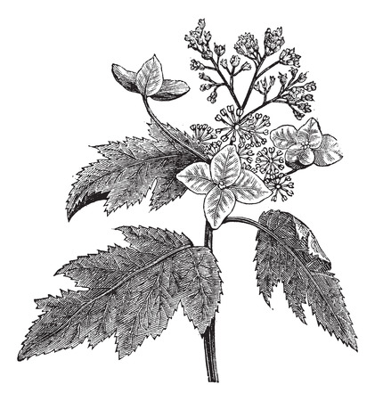 Old engraved illustration of Oakleaf hydrangea, isolated on a white background.