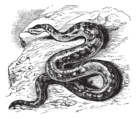 natal: Old engraved illustration of Natal rock python.