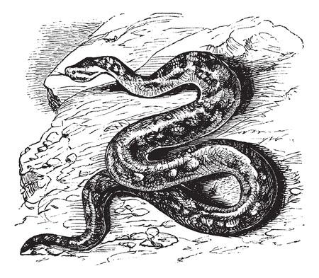 Oude gegraveerde afbeelding van Natal rots python. Stockfoto - 37956480